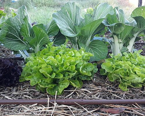 Mulched vegetable garden